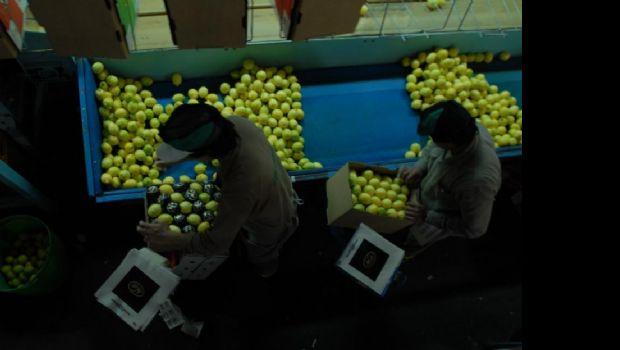 El limón tucumano vuelve a Estados Unidos