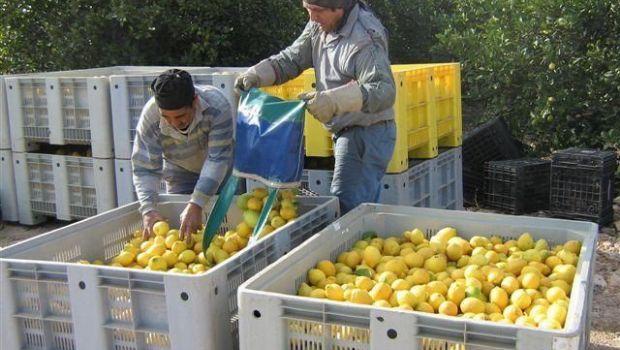 La decisión sobre el ingreso del limón a EEUU puede demorar 90 días