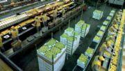 Los limones tucumanos ya tienen fecha de llegada a Estados Unidos