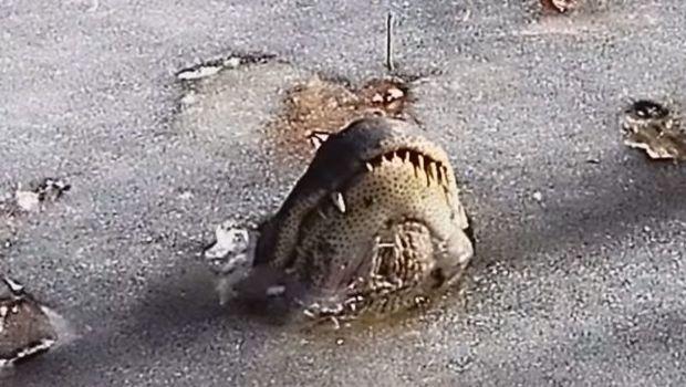 Frío en USA: caimanes se quedan 'incrustados' en el hielo