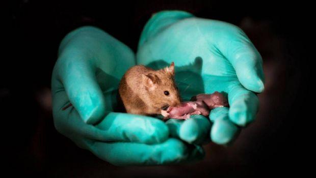 Científicos logran reproducir una cría de dos ratones hembra
