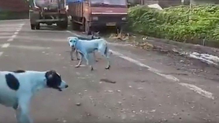 Perros callejeros cambian de color en la India