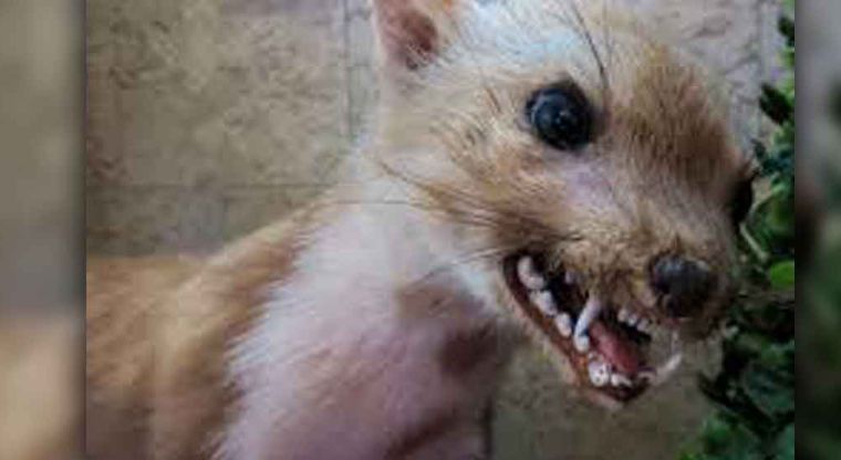 Una creciente población de 'perros zombis' ponen en alerta a Chicago